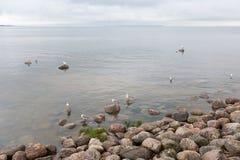 Seagulls på stenarna nära havet Arkivbilder