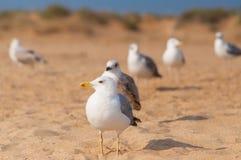 Seagulls på stranden Arkivbild