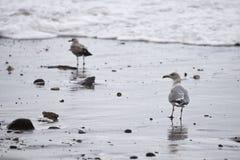 seagulls på stranden under stormen i Nr Vorupoer på Nordsjönkusten Royaltyfri Bild