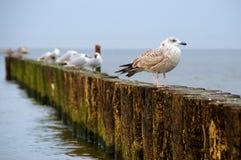Seagulls på vågbrytare arkivbild