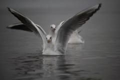 Seagulls på vattenyttersidan Fotografering för Bildbyråer