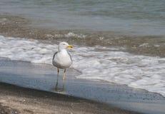 Seagulls på strandsand Fotografering för Bildbyråer