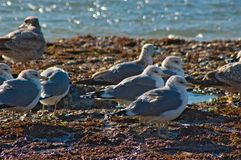 Seagulls at Pacific Ocean. California stock photos