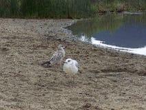 Seagulls a pair Stock Photos