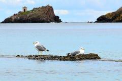 Seagulls. Pair of seagulls on a small island off the coast of Sardinia. Italy Stock Photography