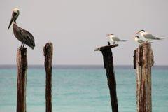 Seagulls & pelican Royalty Free Stock Image