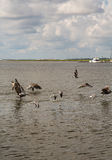 Seagulls and Pelicans Skimming Across Water Stock Photos
