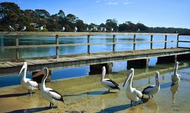 Pelicans at a Wharf stock image