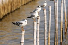 Seagulls perch on the bamboo Royalty Free Stock Photos