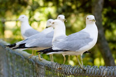 Seagulls Perched on a Fence. A bunch of seagulls perched along a black fence Stock Photography