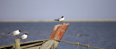 Seagulls perching Royalty Free Stock Images