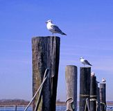 Seagulls at Pier. Seagulls sit atop wooden moorings waiting for the fishing boats to return so then can get something to eat stock photo