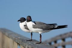 Seagulls on a pier. Two seagulls stand on a pier Stock Photography