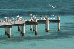 Seagulls on a Pier. A flock of gulls taking in some sun on a pier in Caye Caulker, Belize royalty free stock images