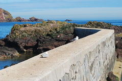 Seagulls on pier wall and rocks at St. Abbs, Berwickshire Royalty Free Stock Photos