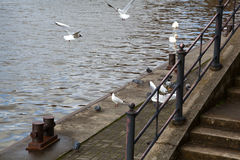 Seagulls and pigeons flying on the promenade Royalty Free Stock Photography