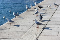 Seagulls and pigeons Royalty Free Stock Photography