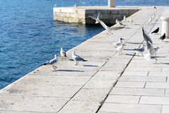 Seagulls and pigeons Stock Photo