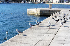 Seagulls and pigeons Royalty Free Stock Photos