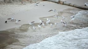 Seagulls and pigeons are on the seashore Fly walk spend time stock footage