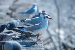 Seagulls and pigeons. Standing on the cost Royalty Free Stock Photo