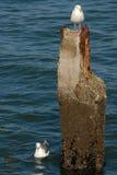 Seagulls & Piling Stock Photos