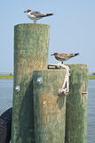 Seagulls on Pilings Royalty Free Stock Photo
