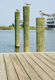 Seagulls on Pilings Royalty Free Stock Images