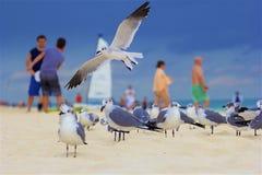 Seagulls in Playa del Carmen , Mexico. Playa del Carmen and Riviera Maya beach, Mexico Royalty Free Stock Photography