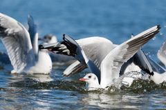 Seagulls playing in the sea, taking off, floating Stock Image