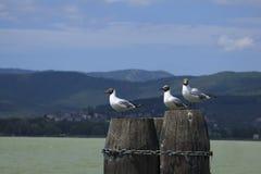 Seagulls on a pole Stock Photos