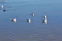 Seagulls pond sea stock images