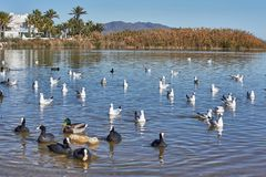 Seagulls pond sea royalty free stock images