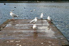 Seagulls on pontoon. Seagulls perched on pontoon at edge of lake Stock Images