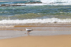 The seagulls in port stephens,australia Royalty Free Stock Image