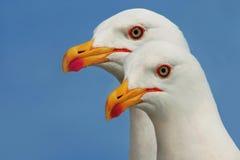 Seagulls Stock Photography