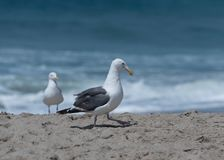 Seagulls at the beach in Malibu, California. Seagulls posing for a portrait at the beach in Malibu, California Stock Image