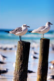 Seagulls on a Post Royalty Free Stock Image