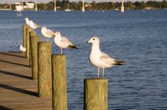 Seagulls on Posts stock photo