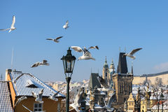 Seagulls in Prague royalty free stock photography
