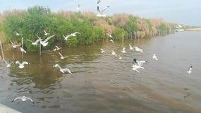 Seagulls przesiedleńczy przy atrakcjami turystycznymi w Tajlandia zbiory wideo