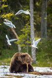 Seagulls Przewodząca Dorosła samiec Brown niedźwiedź i frajer fotografia stock