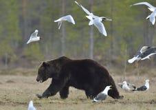 Seagulls Przewodząca Dorosła samiec Brown niedźwiedź i frajer zdjęcie stock