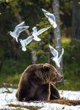 Seagulls Przewodzący frajera Larus ridibundus i Dorosła samiec Brown niedźwiedzia Ursus arctos obraz royalty free