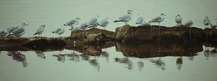 Seagulls przy Pymatuning Obrazy Royalty Free