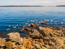Seagulls przy skalistym brzeg Sidney BC, Kanada obraz stock