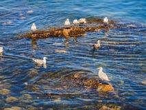 Seagulls przy skalistym brzeg Sidney BC, Kanada Obrazy Stock
