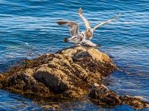 Seagulls przy skalistym brzeg Sidney BC, Kanada fotografia royalty free