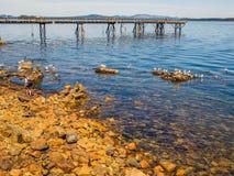 Seagulls przy skalistym brzeg Sidney BC, Kanada Zdjęcia Stock