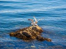 Seagulls przy skalistym brzeg Sidney BC, Kanada obraz royalty free